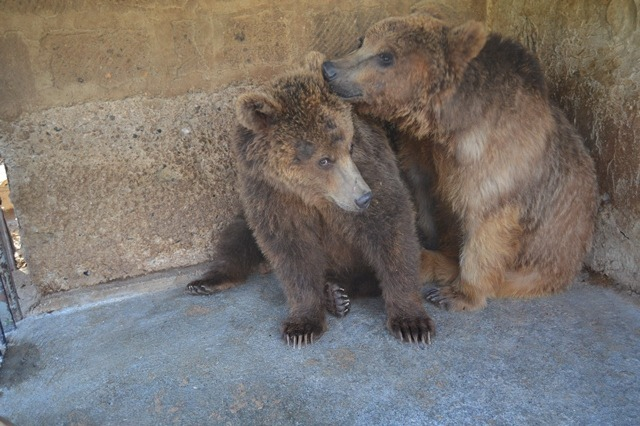 Gyumri bears